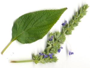 Растение Чиа